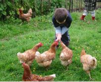 The Basics of Chicken Keeping