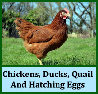 Chickens, Ducks, Quail and Hatching Eggs