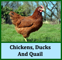 Chickens, Ducks And Quail