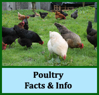 Poultry Facts and Info