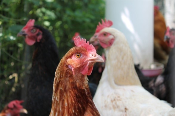 Biosecurity Measures For Poultry - Download Our Fact Sheet