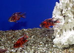 Fire Red Calico (4 - 6cm)