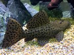 Spiny Monster Pleco (L096/L160) (18-20cm)
