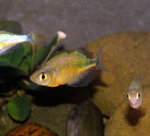 Emerald Rainbowfish / Lake Wanam Rainbowfish