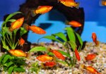 Neon Red Moon Platy
