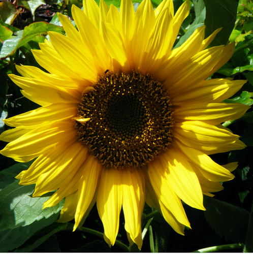 Giant Single Yellow Helianthus Annuus Sunflower Seeds